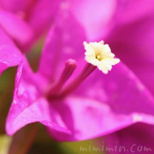 ブーゲンビリアの写真 花言葉
