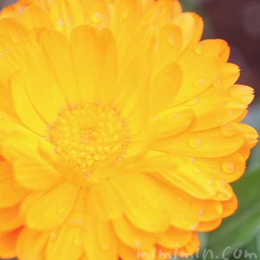 キンセンカの写真・花言葉・名前の由来の画像