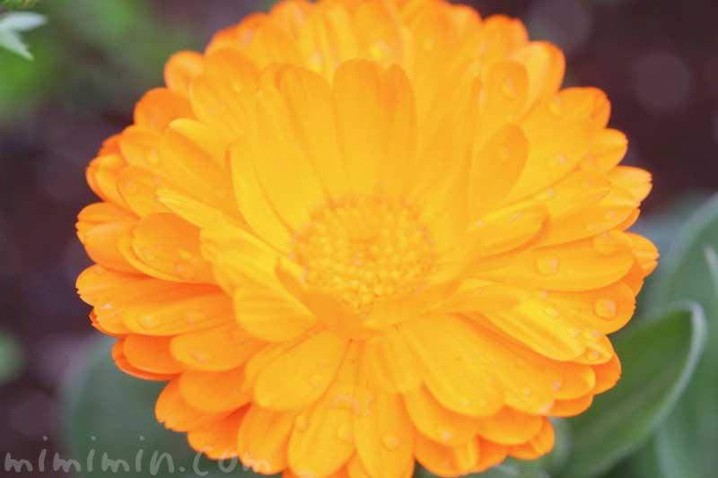 キンセンカの写真 花言葉