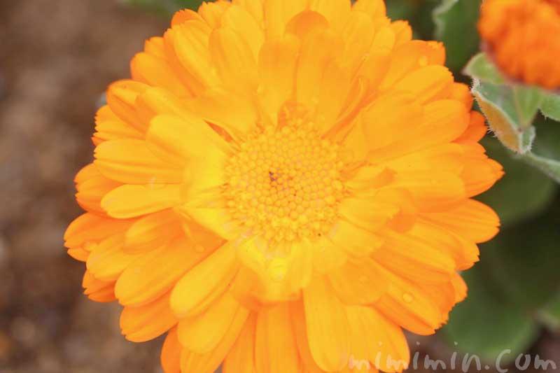 キンセンカの写真と花言葉の画像
