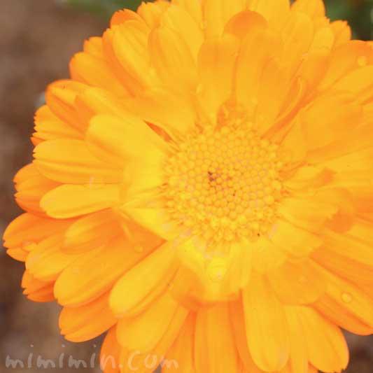 金盞花の写真 花言葉