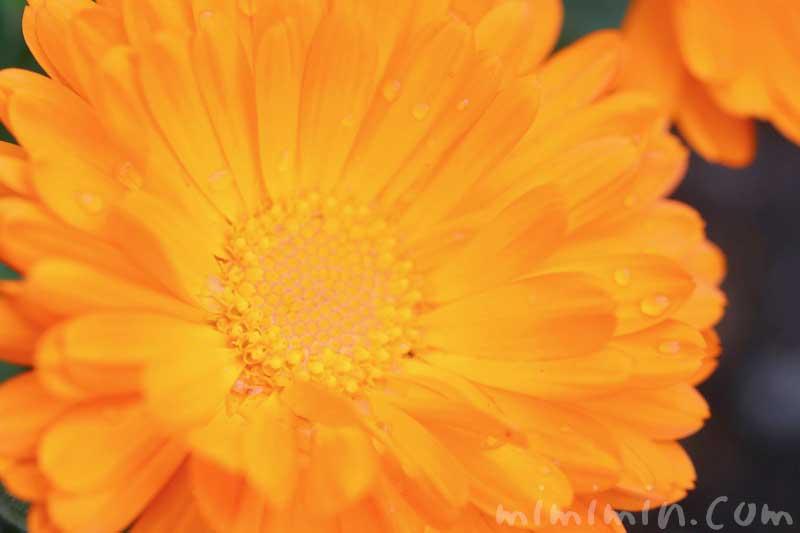 キンセンカの花の写真と花言葉