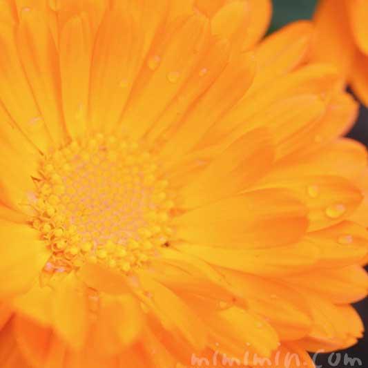 金盞花の写真と花言葉の画像