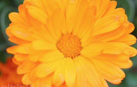 キンセンカの花の写真・花言葉の画像