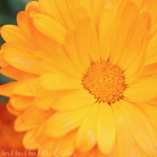 金盞花の花の写真と花言葉