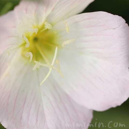 昼咲き月見草の花の写真と花言葉の画像