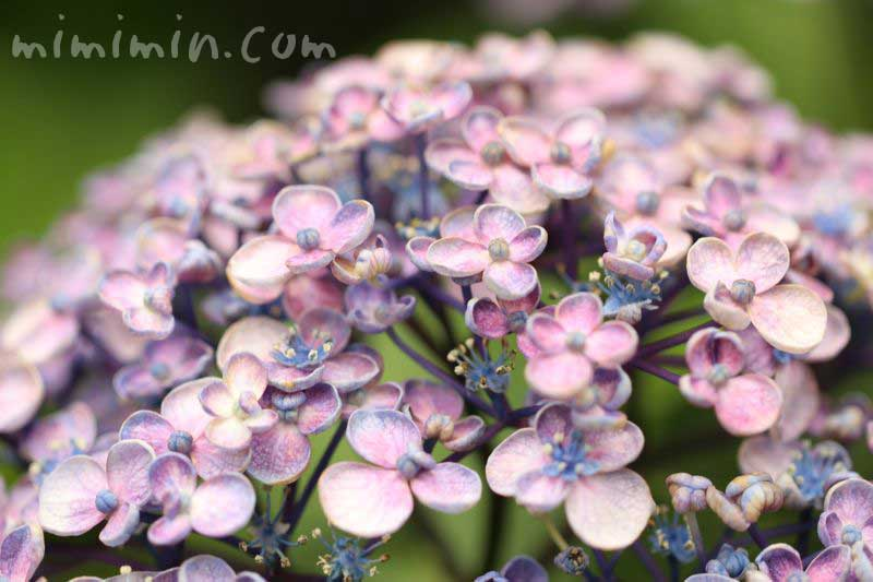 お多福紫陽花の画像