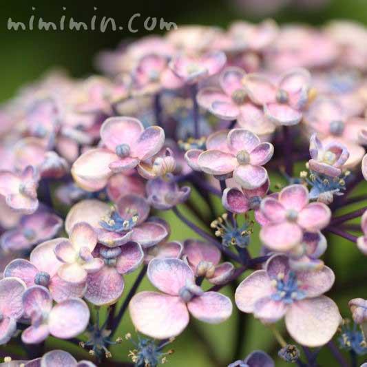 渦紫陽花の画像