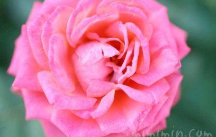 バラの香りの効能の画像