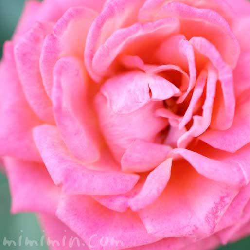 バラの香りの効果・効能の写真