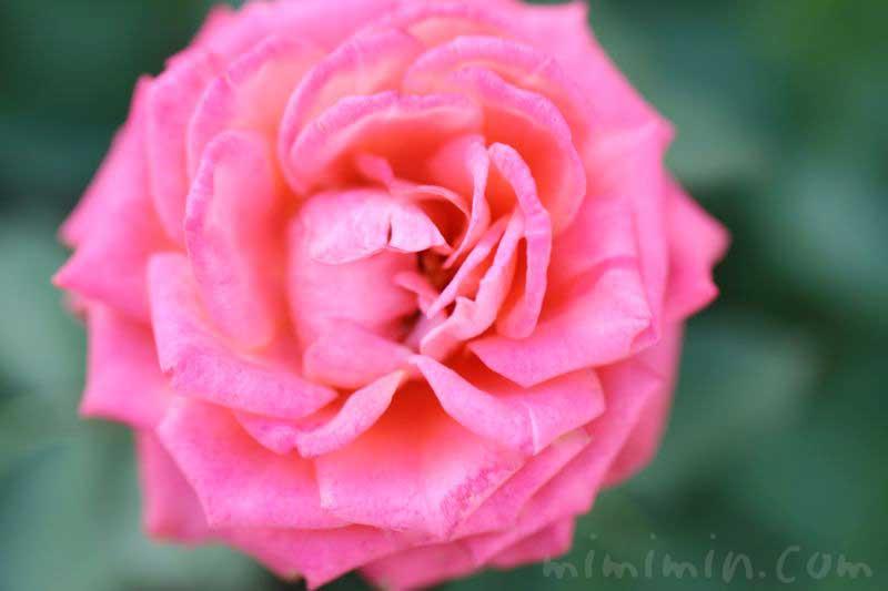 バラの香りの効果の写真