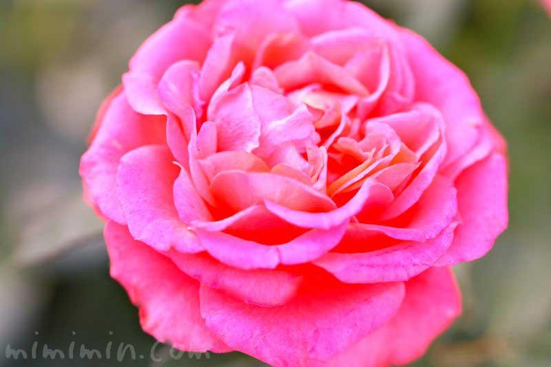 バラの香りの効果・効能