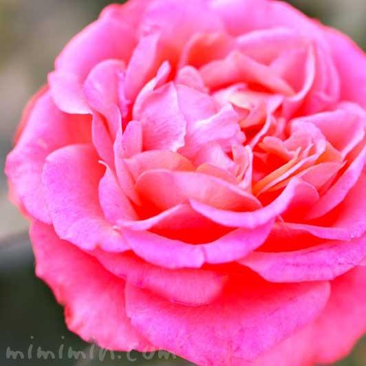 ピンクのバラの写真|バラの香りの効果効能の画像