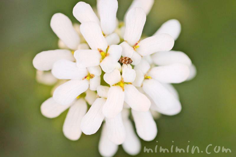 屈曲花(マガリバナ)の写真