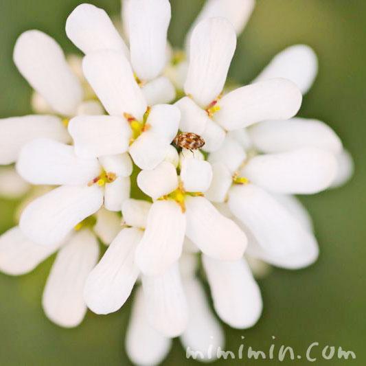 屈曲花(マガリバナ)の花言葉