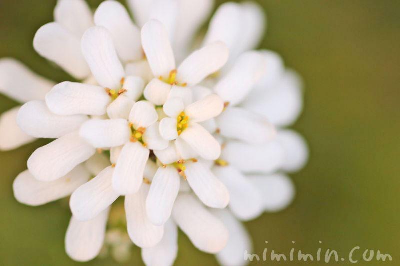 屈曲花の写真