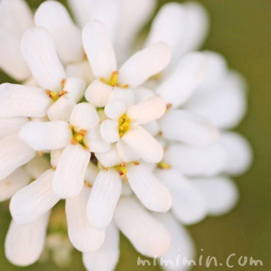 屈曲花(マガリバナ)の花言葉の画像