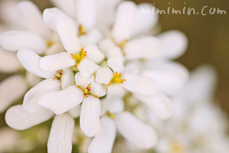 マガリバナの花言葉の画像