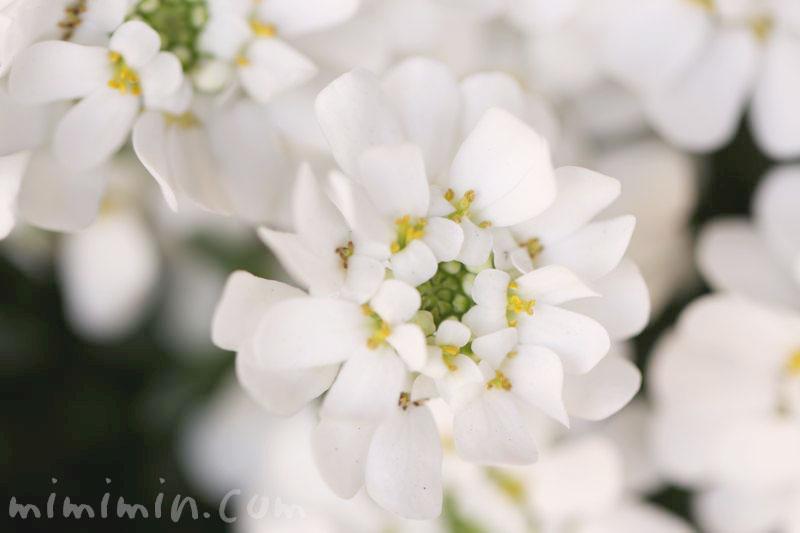 イベリスの誕生花の写真