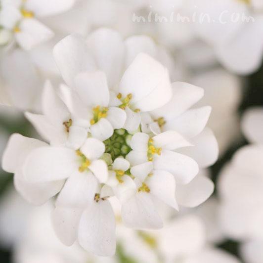 イベリスの花言葉・誕生花