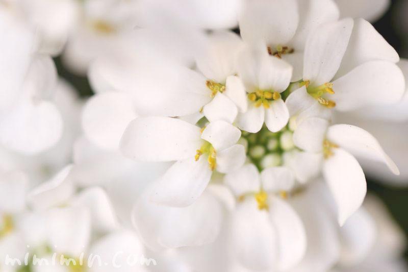 マガリバナの花言葉