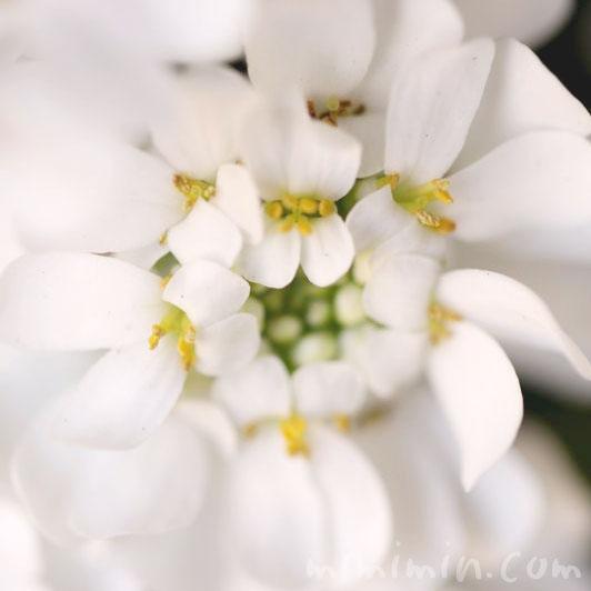 イベリスの花言葉・誕生花の画像の写真