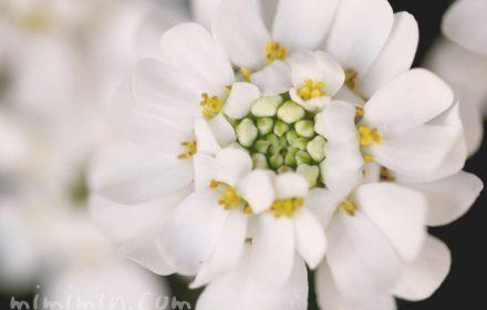マガリバナの花言葉の写真