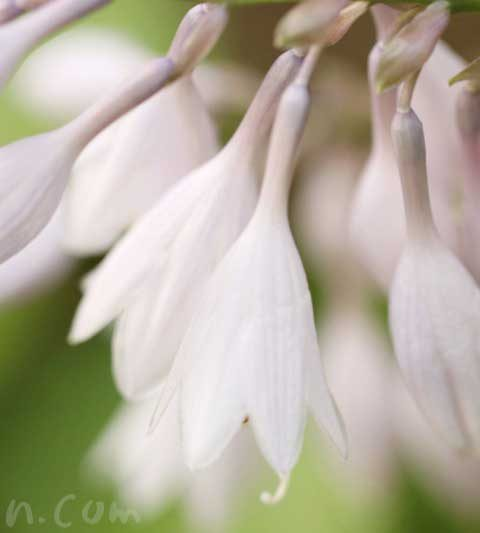 ギボウシ(ホスタ)の花の写真・花言葉・名前の由来