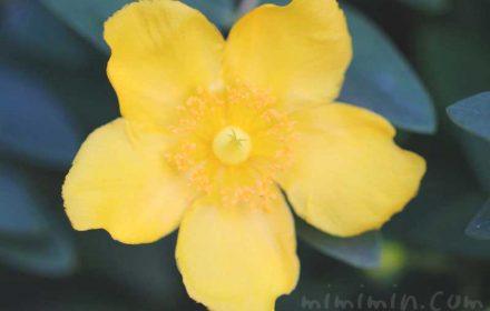 キンシバイの花の写真と花言葉