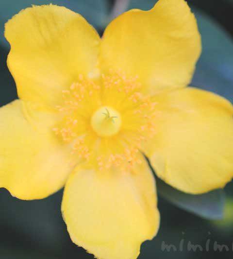 キンシバイの花言葉・誕生花