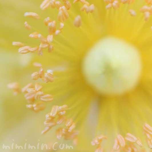 キンシバイの写真と花言葉