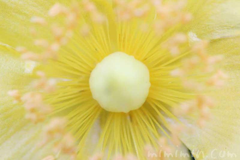 キンシバイの写真と花言葉の画像