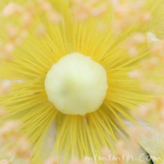 金糸梅の写真と花言葉