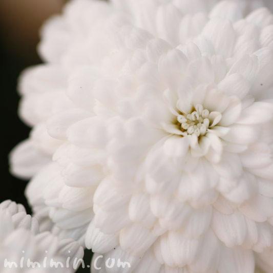 マーガレット・八重咲きの画像