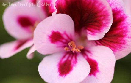 ナツザキテンジクアオイの花の画像