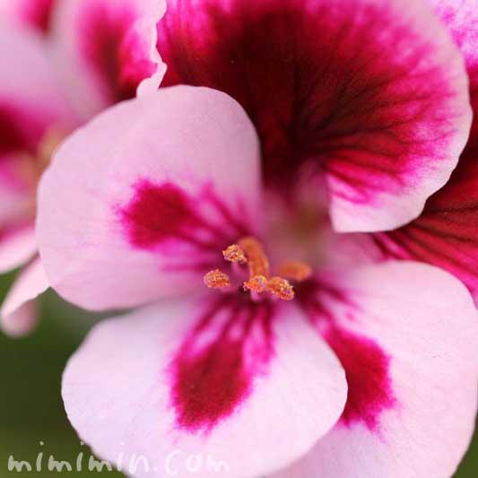 夏咲天竺葵の写真