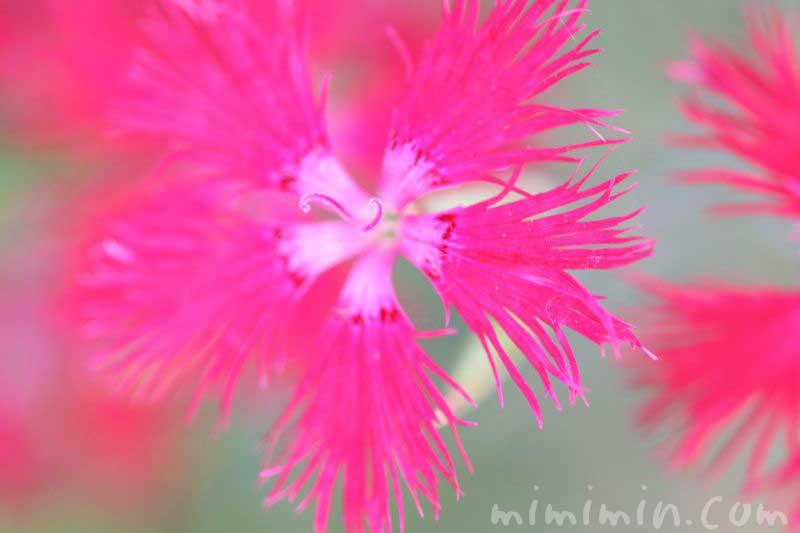 カワラナデシコの花の画像