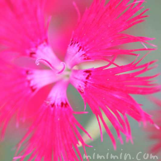 ヤマトナデシコの花の写真
