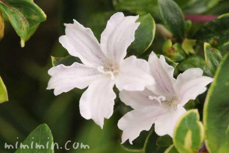 白鳥花の写真