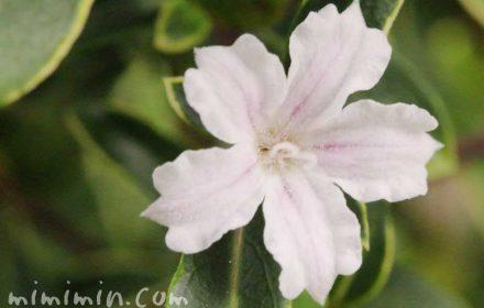 ハクチョウゲ・白の写真