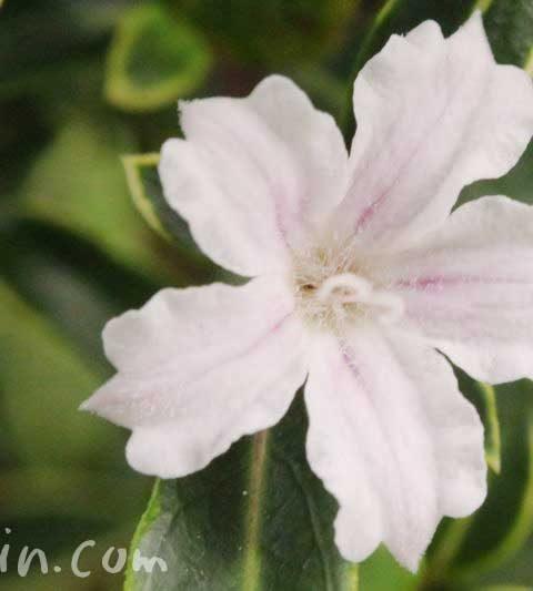 ハクチョウゲ(白丁花・白鳥花)の花の写真・花言葉・名前の由来