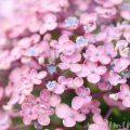 ウズアジサイ(オタフクアジサイ)の花 ピンクの写真