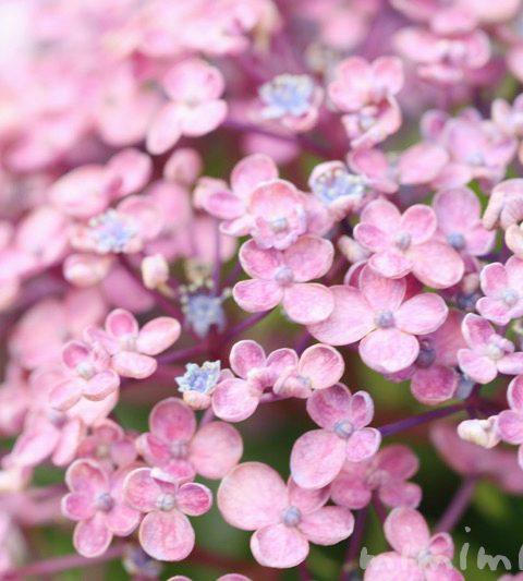ウズアジサイ(オタフクアジサイ)の花の写真・名前の由来