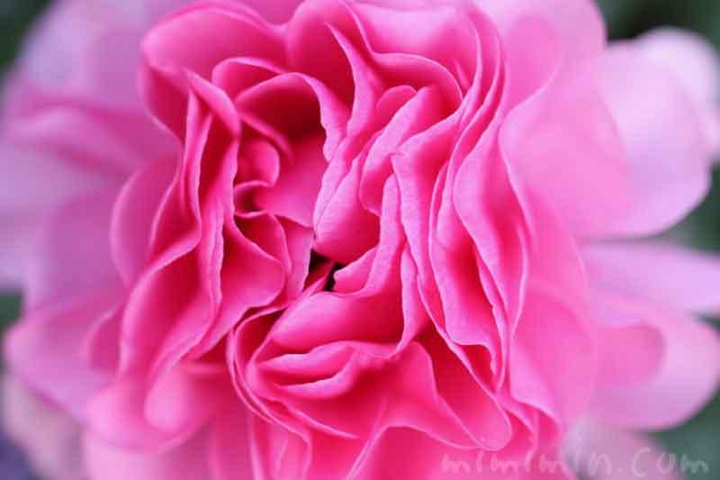 ラナンキュラス(ピンク)の花の写真と花言葉