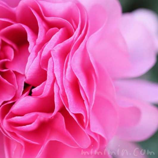 ラナンキュラス(ピンク)の写真と花言葉の画像