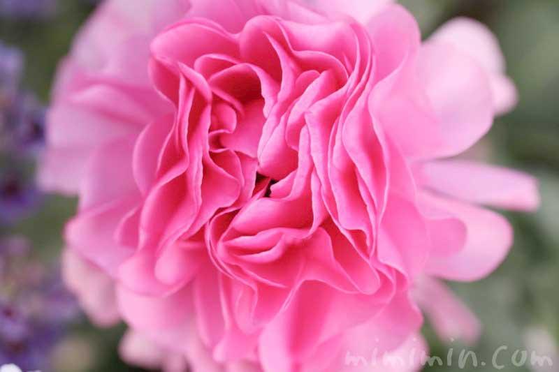 ラナンキュラス(ピンク)の写真と花言葉