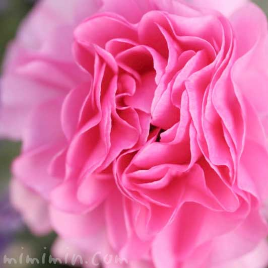 ラナンキュラス(ピンク)の花の写真と花言葉の画像
