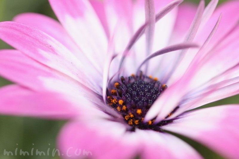 ローダンセマムの花の写真・ピンク×白