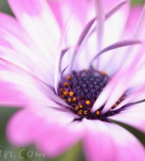 ローダンセマムの花の写真・花言葉