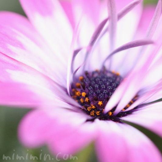 ローダンセマム・ピンク×白の画像